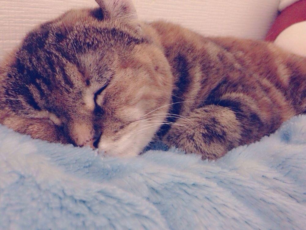 うつぶせで寝ている猫
